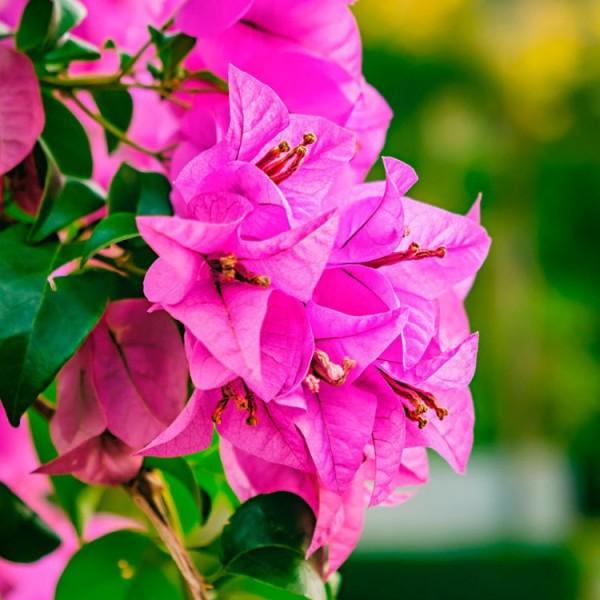 Bougainvillea Dwarf Pink - Bougainvillea Glabra Pink