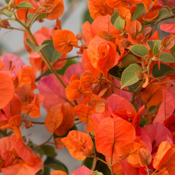 Bougainvillea Orange King
