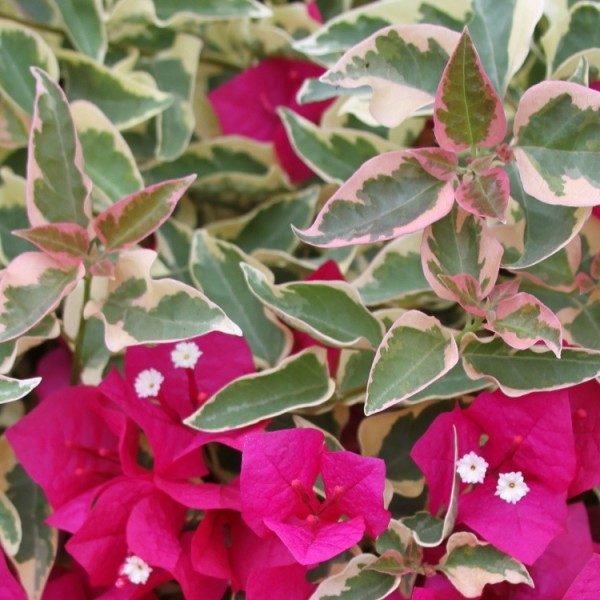 Bougainvillea Variegated Pink Plant