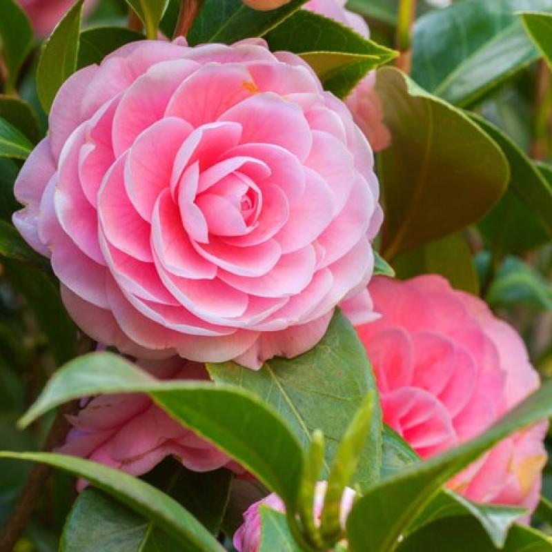 Camellia Tea Plant Online India At