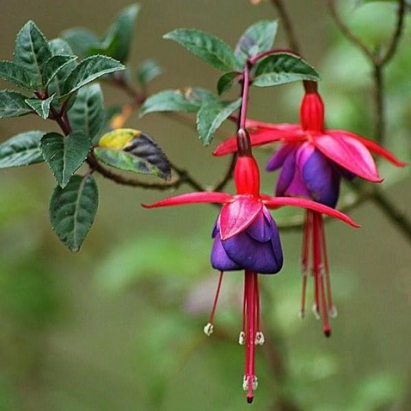 Fuchsia Plant - Dancing Doll