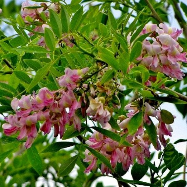 Gliricidia Sepium Plant