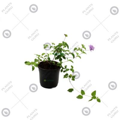 Lantana White Plant