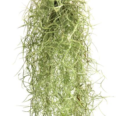 Tillandsia Usneoides - Spanish Moss, Air Plant