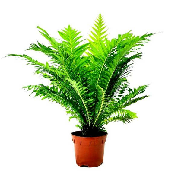 Tree Fern - Dwarf Tree Fern, Blechnum Silver Lady