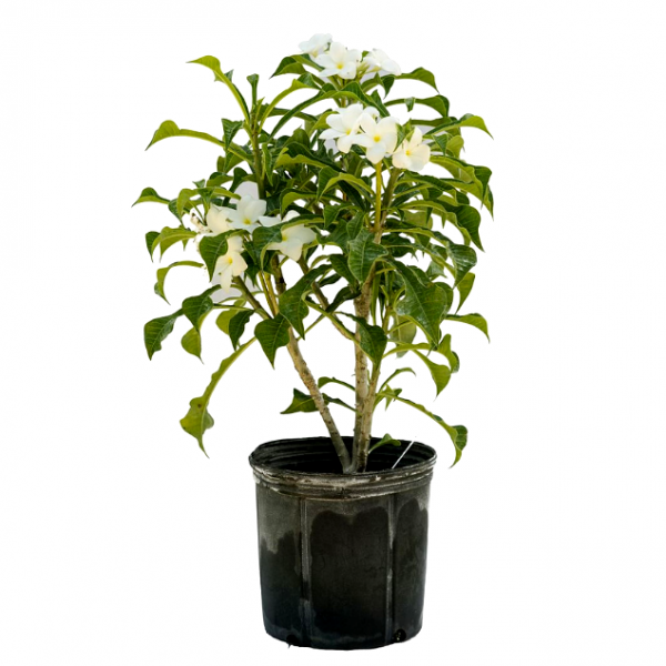 Plumeria Pudica - Champa, Frangipani