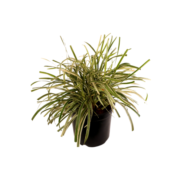 Ribbon Grass Variegated - Ophiopogon Jaburan