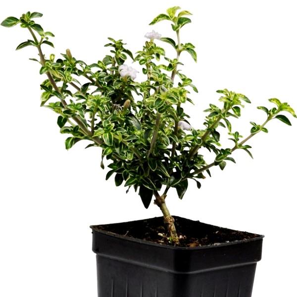 Serissa Foetida Plant - Snowrose