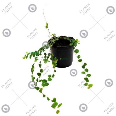 Wall Creeper - Waghnaki Plant