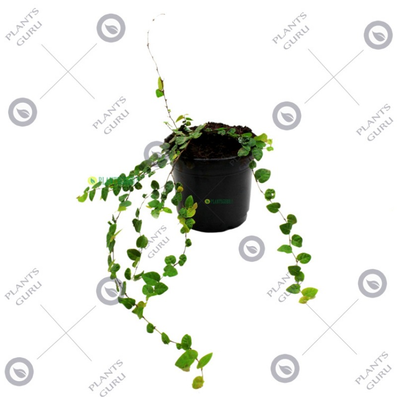 Buy Wall Creeper Waghnaki Flower Plant Online At