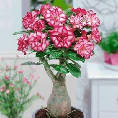 Adenium Plants