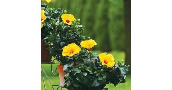 Hibiscus Flower Plants Buy Online At Best Price On Plantsgurucom