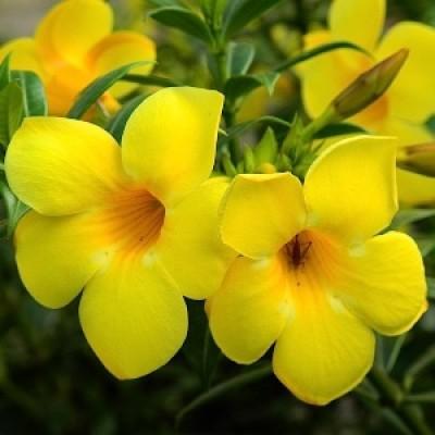 Allamanda Plant