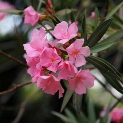 Nerium (Kaner) Plant