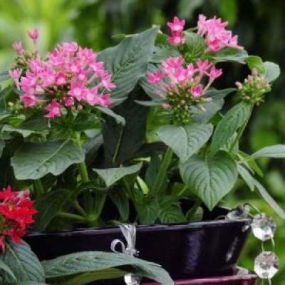 Pentas Plant