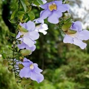 Thunbergia Plant