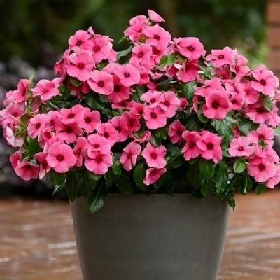 Vinca Plant
