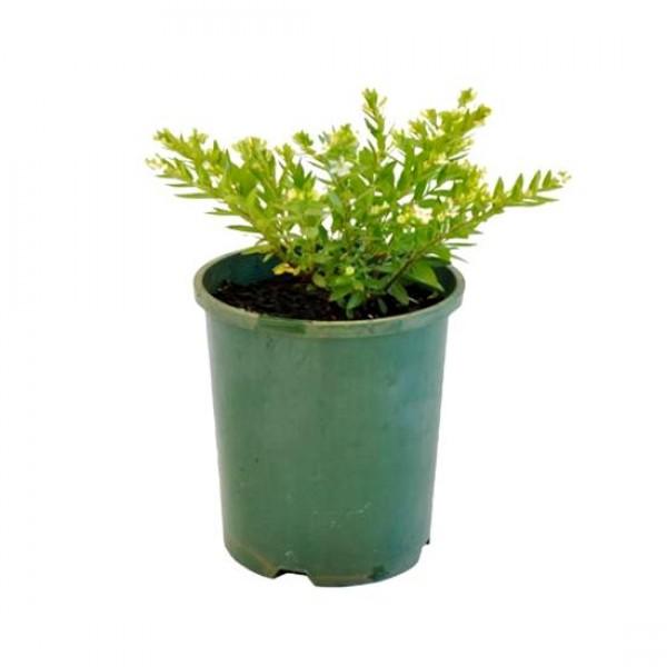Cuphea Hyssopifolia Plant - Cuphea White