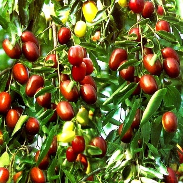 Ber - Apple Ber Plant (Grafted), Ziziphus mauritiana