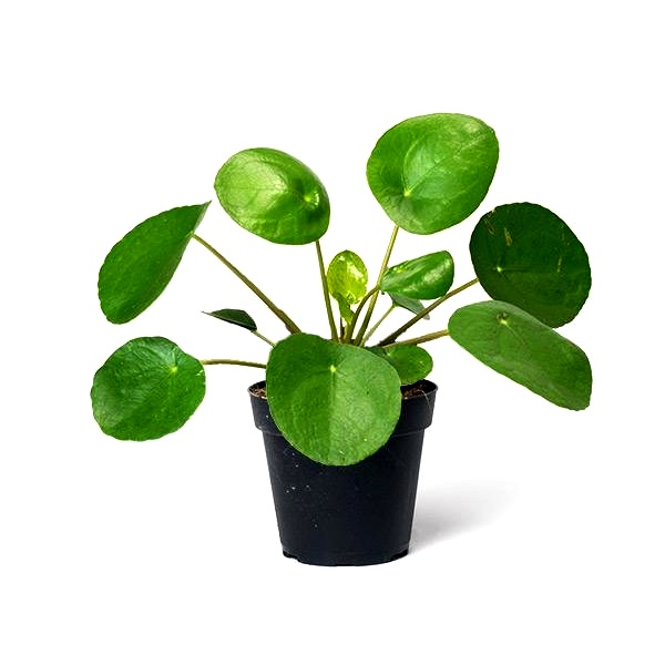 Pilea Peperomeoides Plant - Chinese Money Plant, Pancake plant