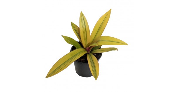 Buy Rhoeo Golden live plant online at cheap price on