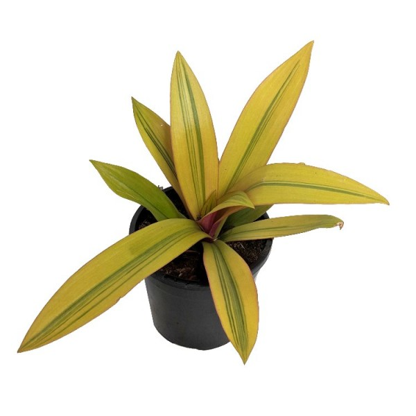 Roheo Golden - Tradescantia Spathacea, Rhoeo Tricolor, Spiderwort Plant