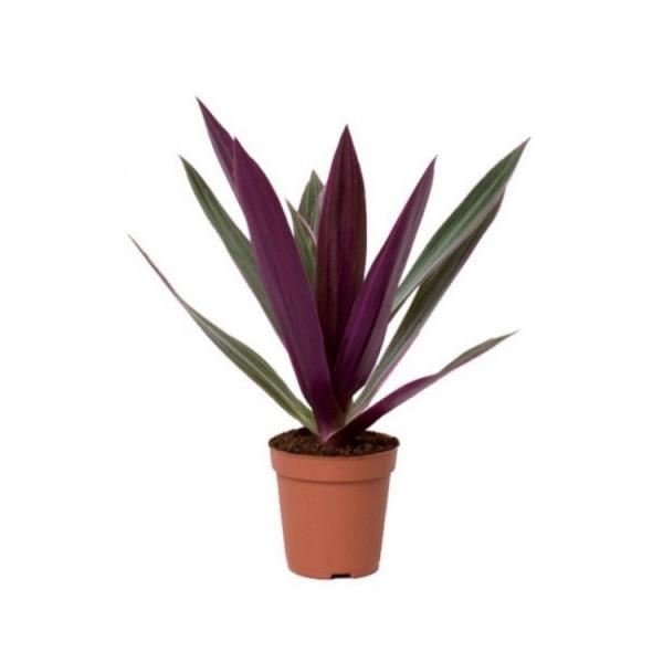 Roheo Discolor - Tradescantia Spathacea, Rhoeo Discolor, Spiderwort Plant
