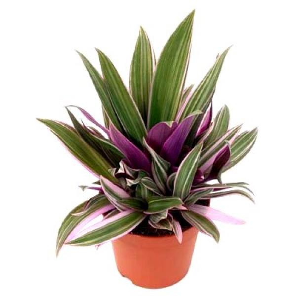 Roheo Spathacea - Tradescantia Spathacea, Rhoeo Bicolor, Spiderwort Plant