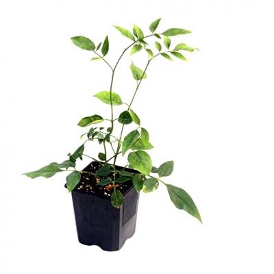 Jui Yellow - Jasminum Humile Revolutum, Chameli Plant