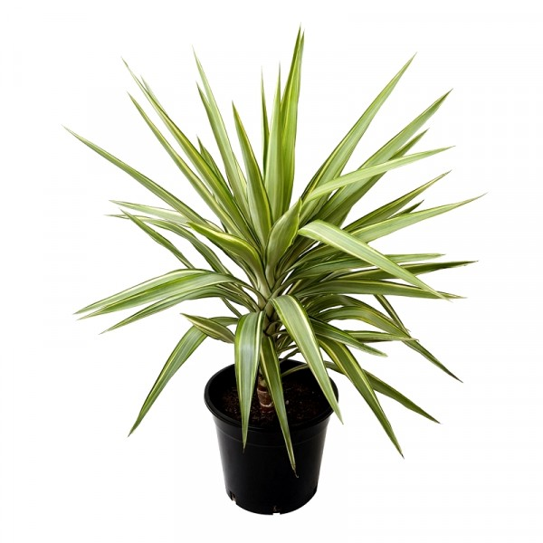 Silver Yucca Plant - Yucca Variegated