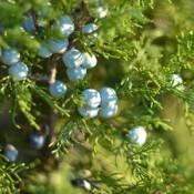 Cypress Plants