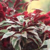 Exoecaria Plant