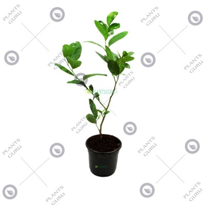 Nimboo Seedless (Grafted) - Lemon Plant, Lime, Citrus