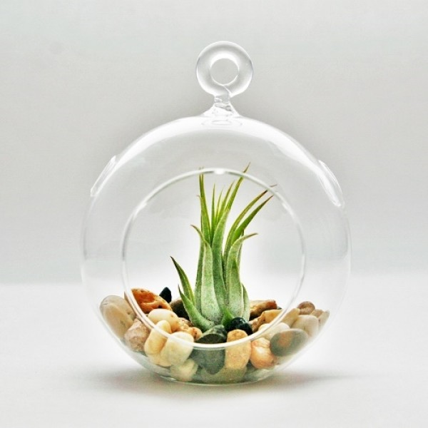 Hanging Terrarium with Air Plant