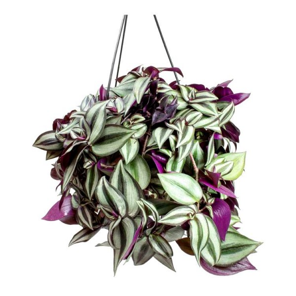 Tradescantia Zebrina - Zebrina Pendula with Hanging Basket Big