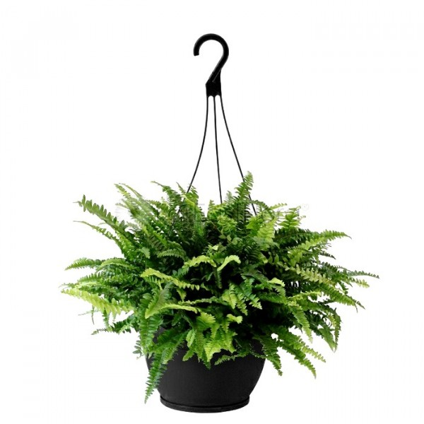 Boston Fern with Hanging Basket