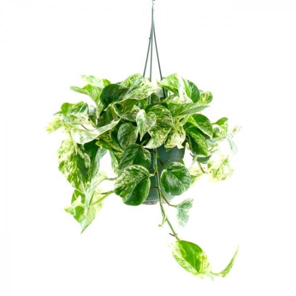 Money Plant Marble with Hanging Basket Big