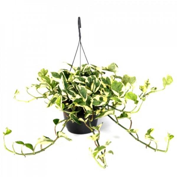 Money Plant Variegated with Hanging Basket Big