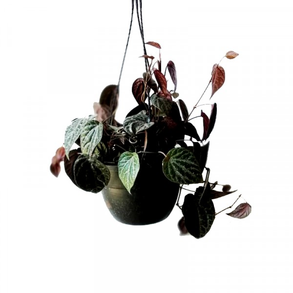 Money Plant Black with Hanging Basket