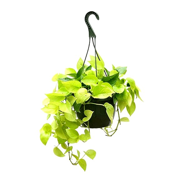 Money Plant Golden with Hanging Basket Big