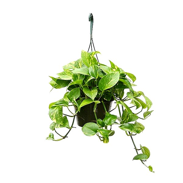 Money Plant with Hanging Basket Big