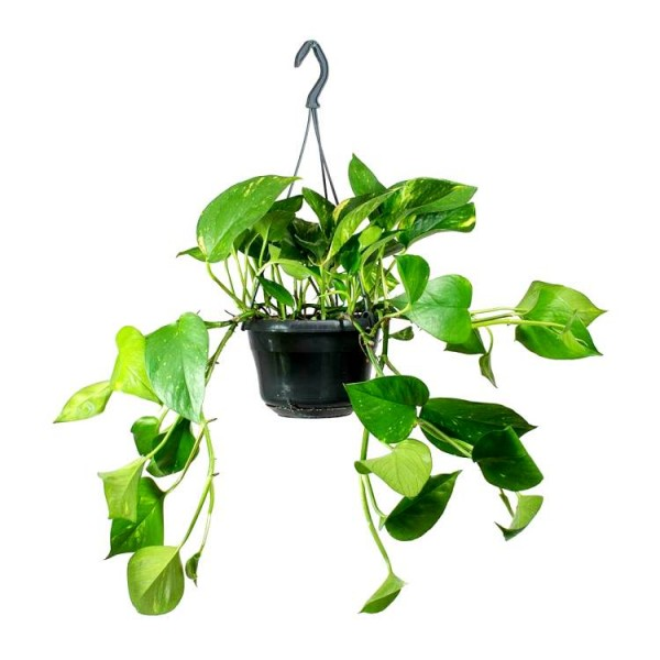 Money Plant with Hanging Basket Small