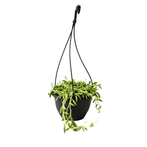 Senecio Radicans - Strings of Banana with Hanging Basket