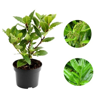 Allspice Plant - Jamaica Pimenta, Myrtle Pepper