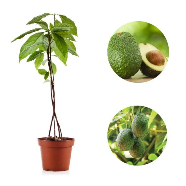 Avocado Fruit Pictures Images