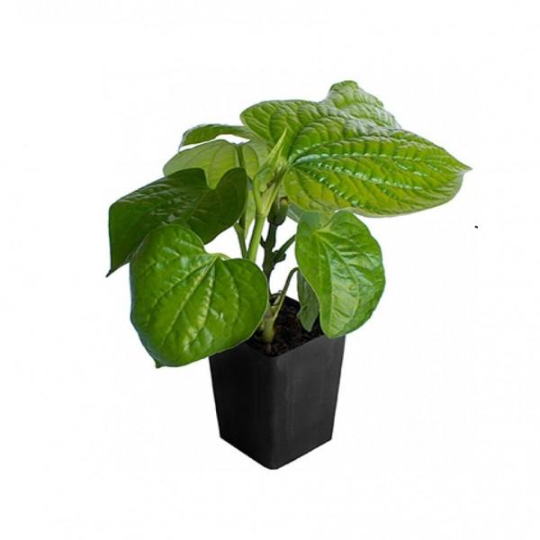 Banarasi Paan Plant - Peper Betel, Betel leaf Plant