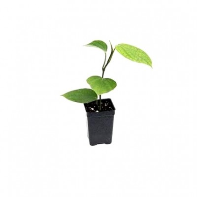Kali Mirch Plant - Black Pepper