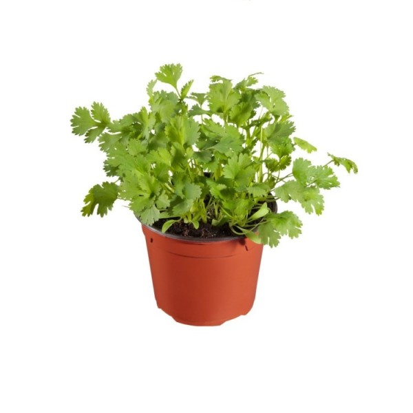 Celery Plant - Apium Graveolens