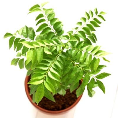 Kadi Patta Plant, Mitha Neem, Curry Leaves Plant, Kadhi Patta