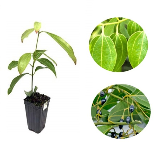 Dalchini Plant - True cinnamon tree, Cinnamon Bark